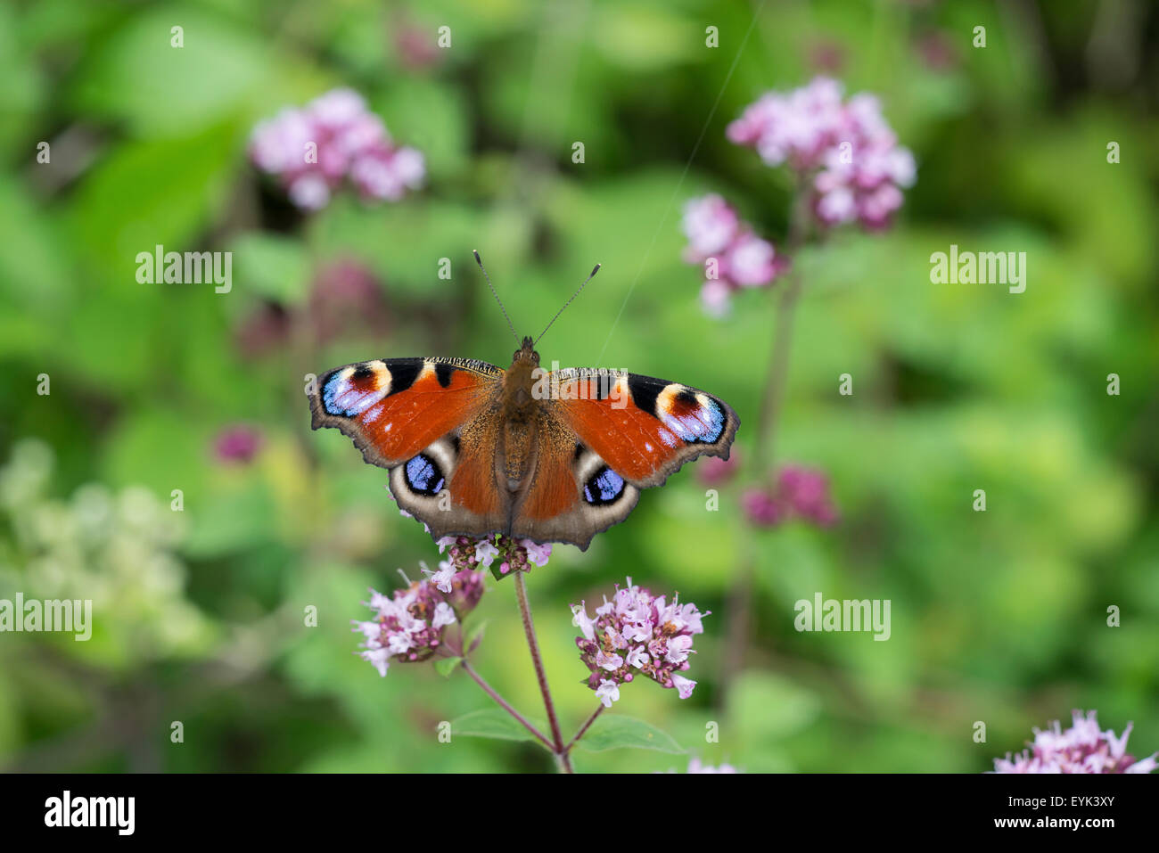 Peacock butterlfy (Inachis io) feeding on nectar. - Stock Image