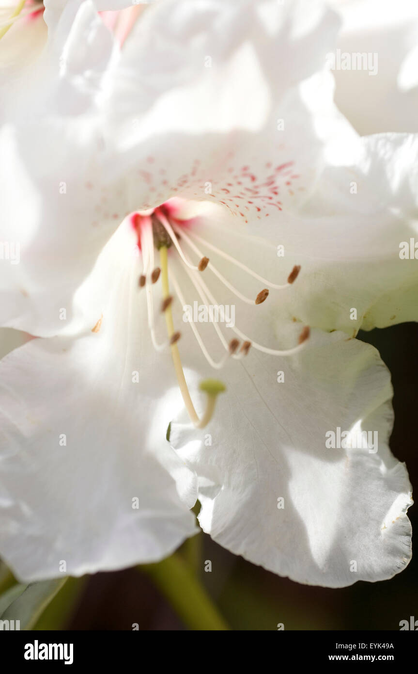 Close up of Rhododendron flower. - Stock Image