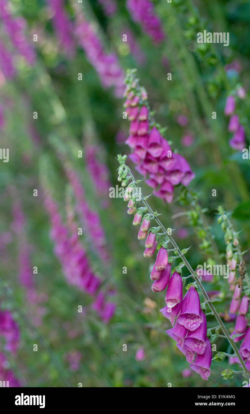 Foxgloves in a country lane. - Stock Image