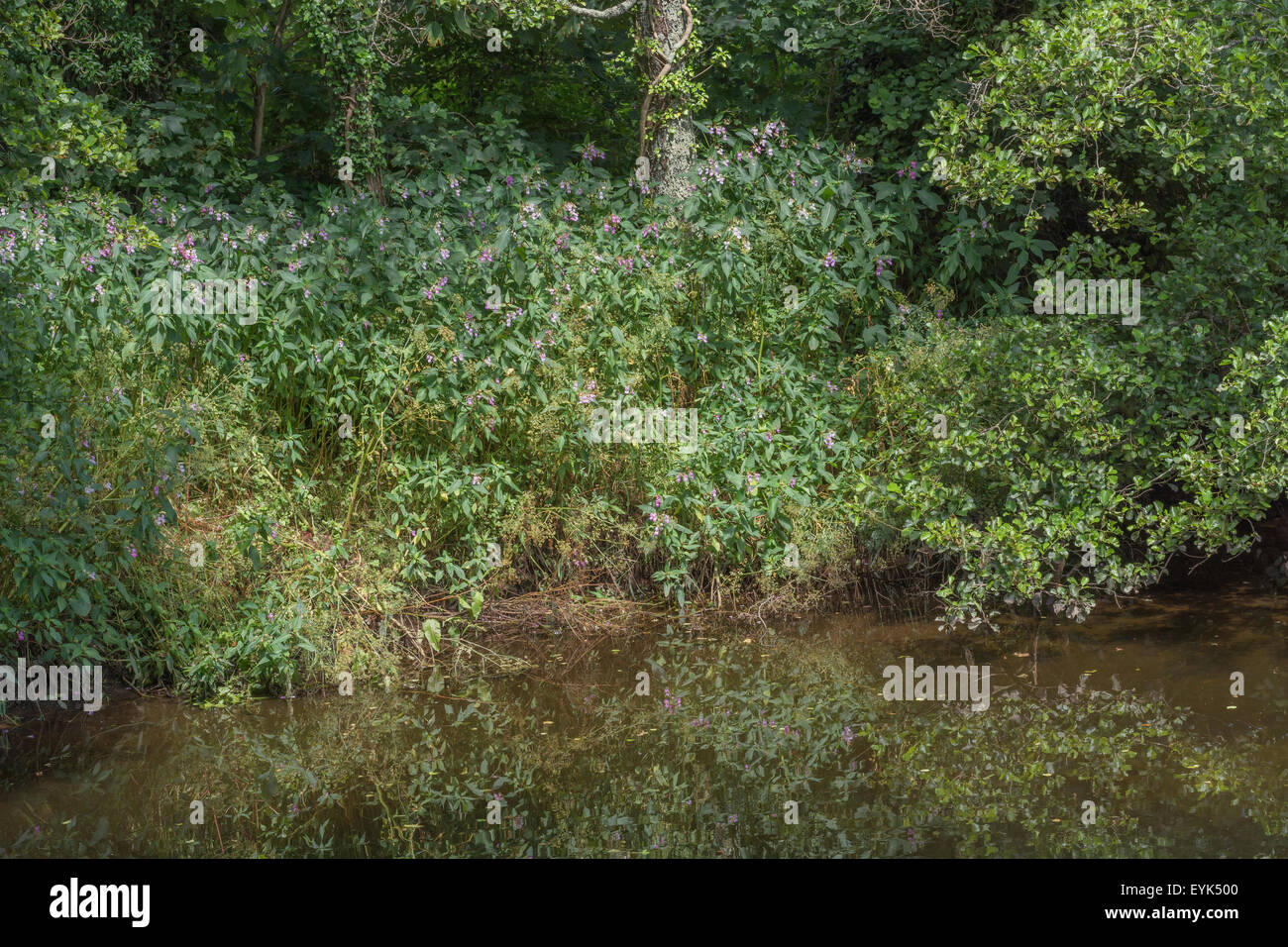 Indian Balsam / Himalayan balsam / Impatiens glandulifera. Invasive weed with affinity for damp and moist soils. Stock Photo