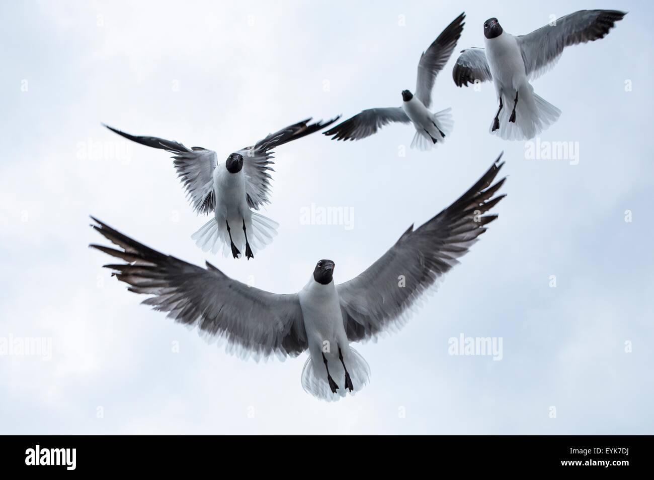 Four black-headed gulls (chroicocephalus ridibundusflying) overhead - Stock Image