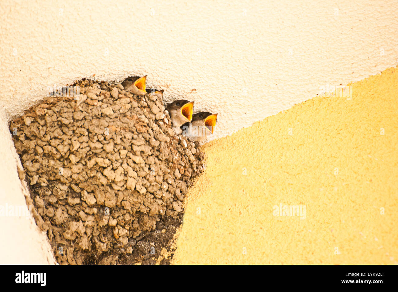 barn swallows chicks in their nest, beaks open, waiting for food - Stock Image
