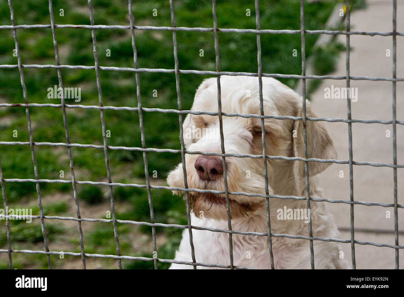 dog behind a fence in a dog rescue center - Stock Image