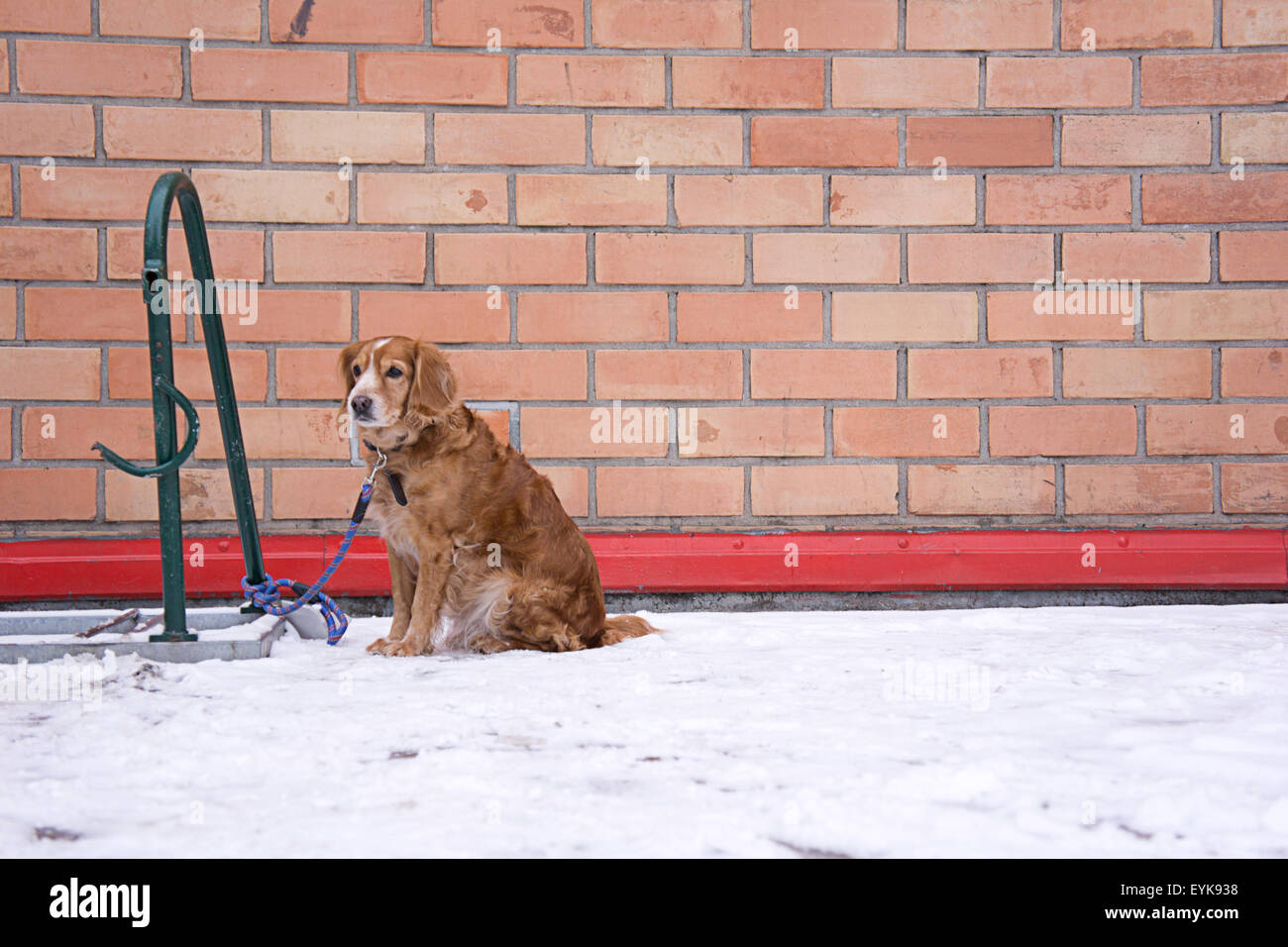 dog waiting for owner, tied to a bicycle parking rack - Stock Image