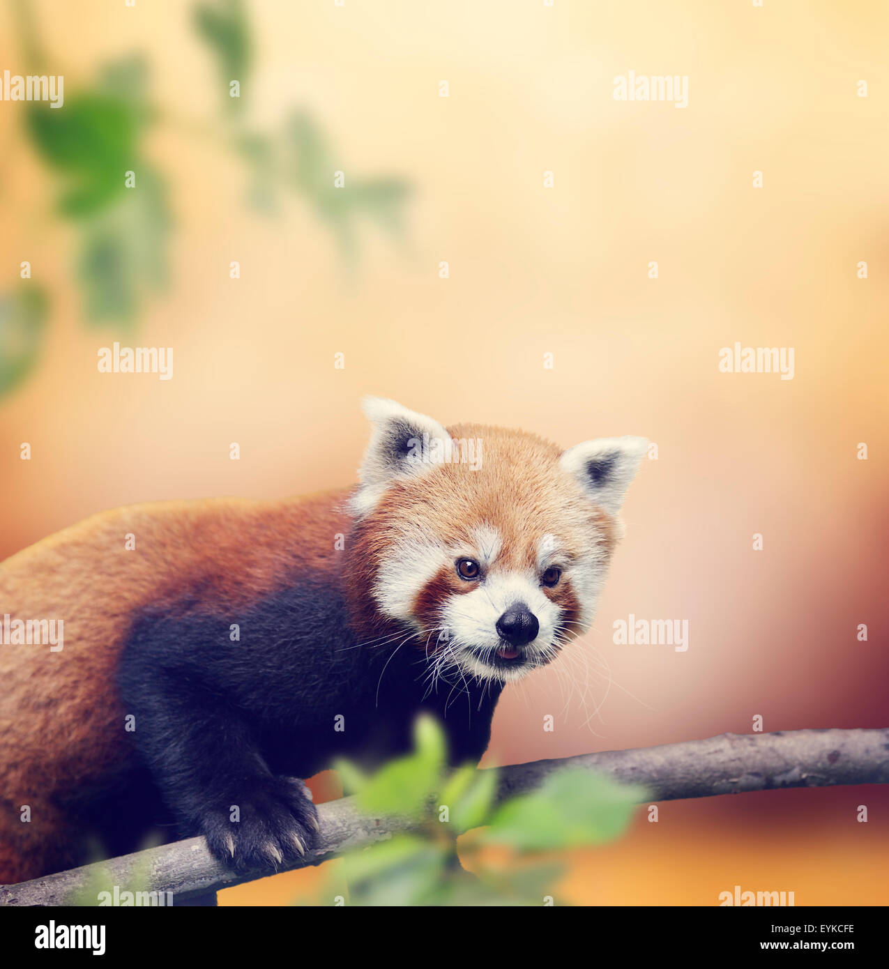 Red Panda Bear Climbing On A Tree - Stock Image