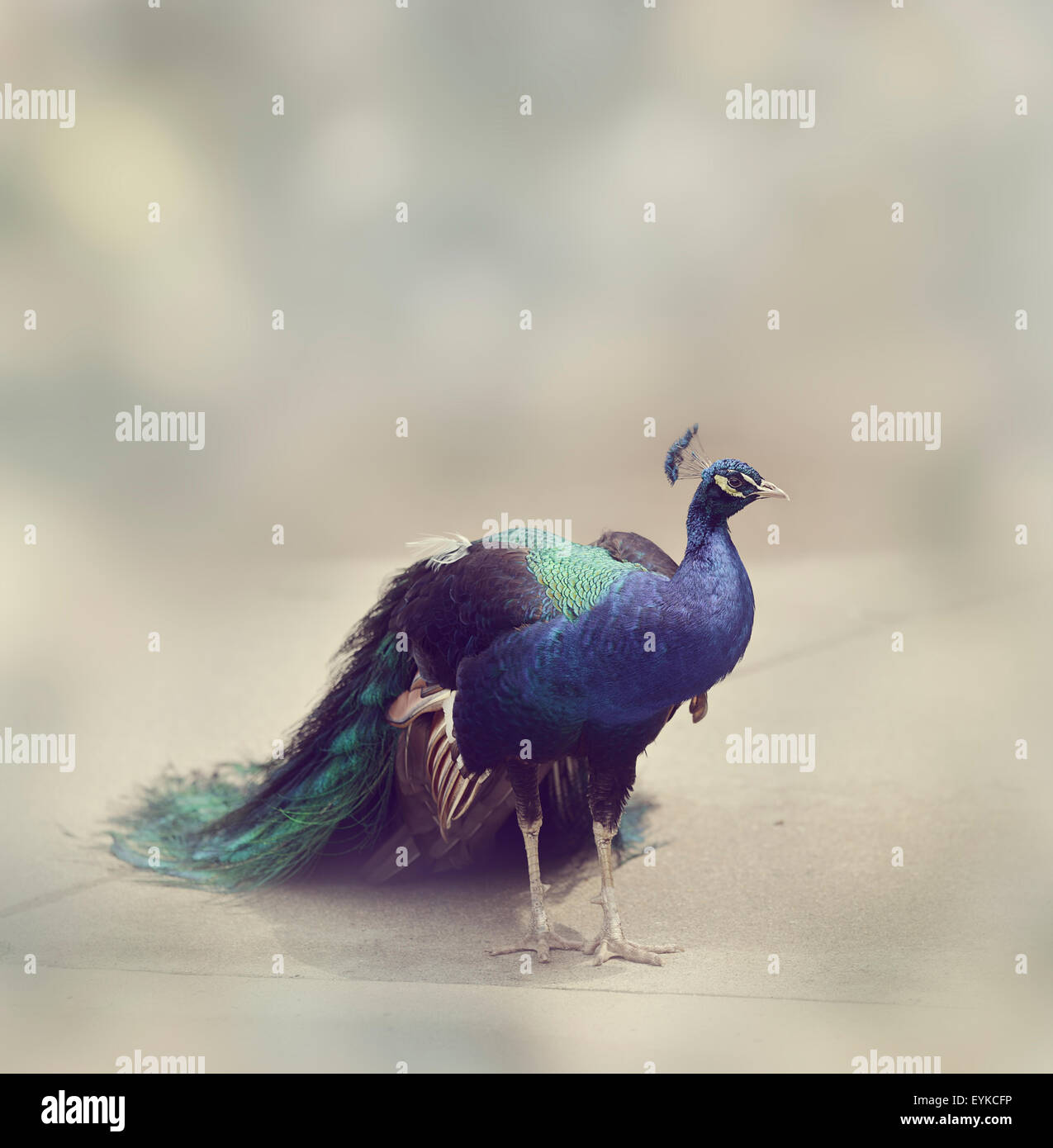 Portrait  of Male Indian Peafowl - Stock Image