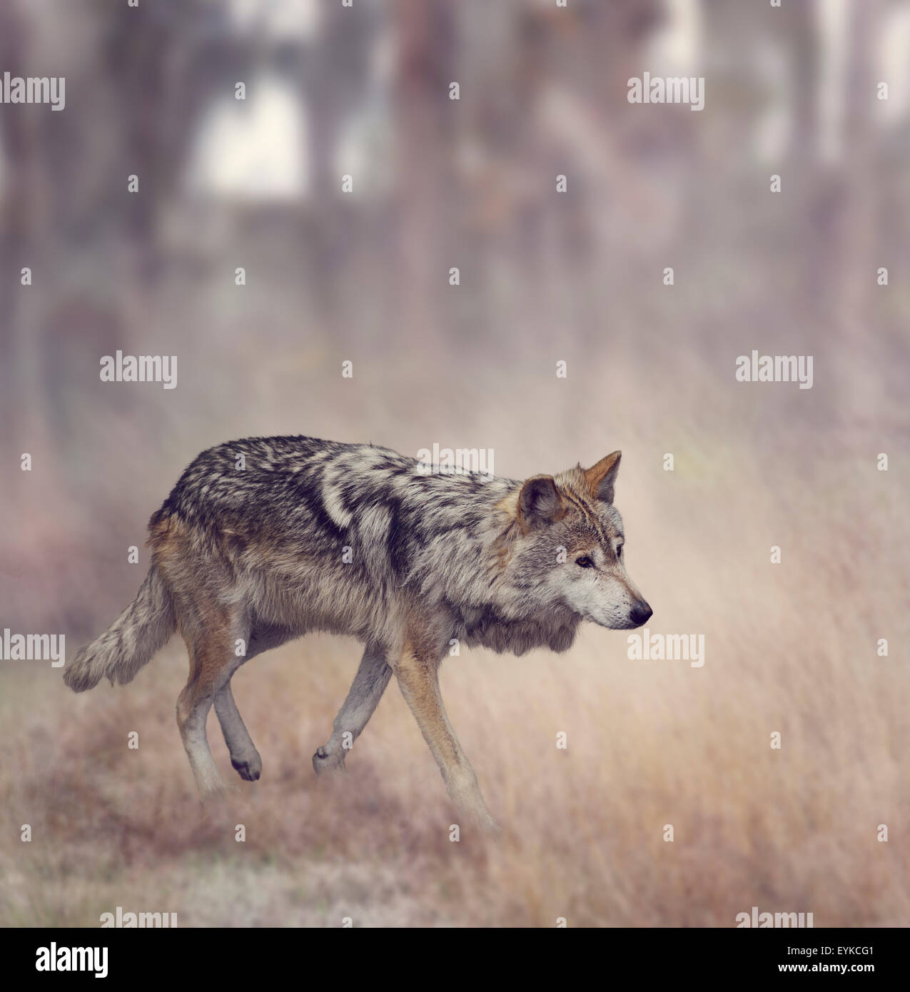 Wolf Walking In The Woods - Stock Image