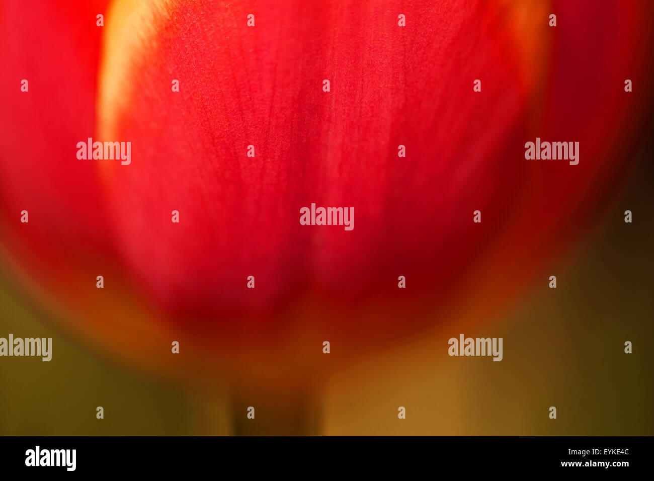 Detailed view of a tulip blossom, - Stock Image