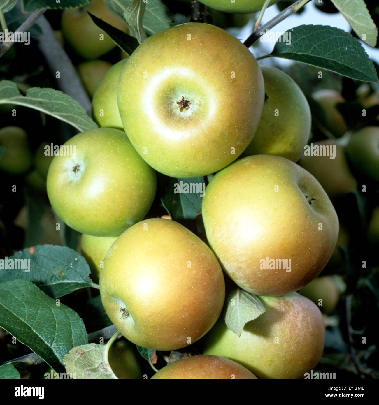 Geheimrat Wesener; Apfelsorte, Apfel, Kernobst, Obst, Stock Photo