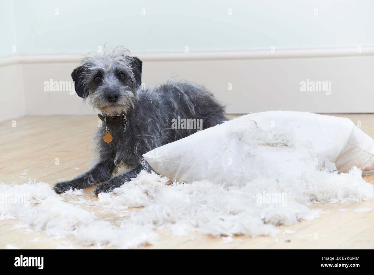 Badly Behaved Dog Ripping Up Cushion At Home - Stock Image