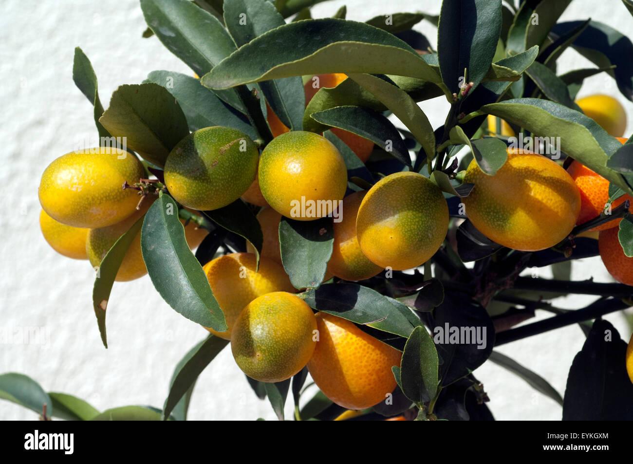 Kumquats; Fortunella; Citrus; Stock Photo