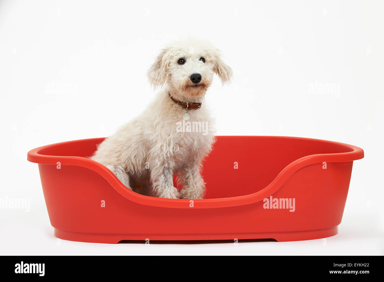 Studio Shot Of White Pet Lurcher Sitting In Red Dog Bed - Stock Image