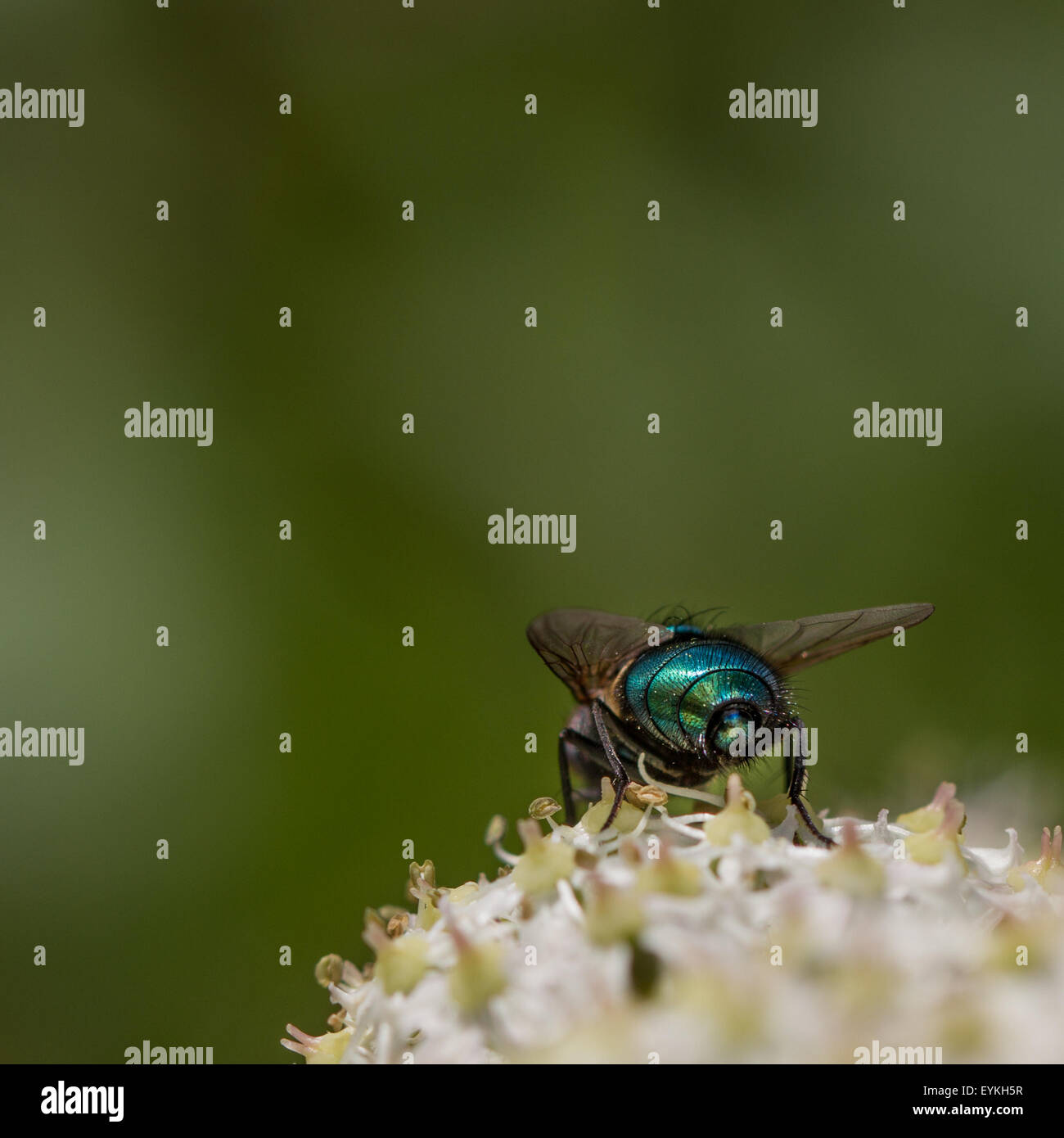 The iridescent rear of a greenbottle fly - Stock Image