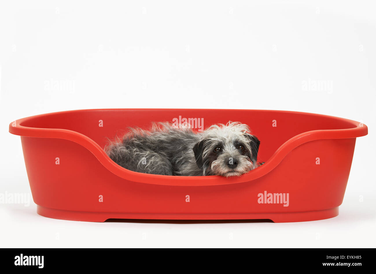 Studio Shot Of Pet Lurcher Lying In Red Dog Bed - Stock Image