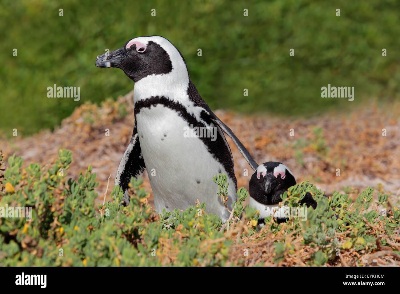 Breeding pair of African penguins (Spheniscus demersus), Western Cape, South Africa - Stock Image