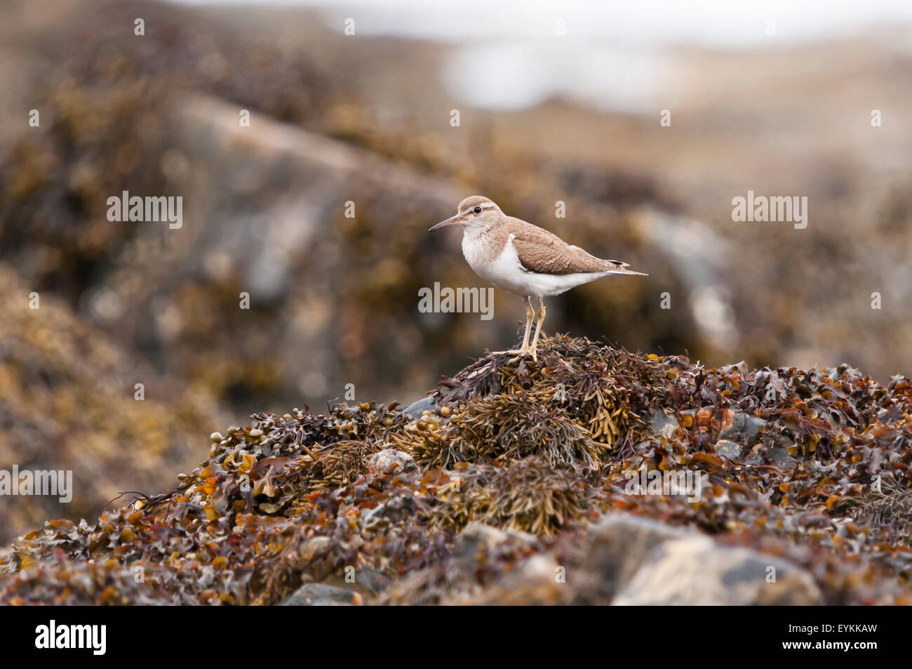 A Common Sandpiper, Actitis hypoleucos, watching me. - Stock Image