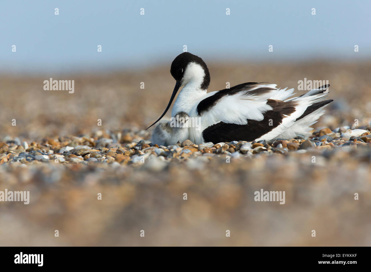 Avocet (Recurvirostra avosetta) protecting its chick on the beach - Stock Image
