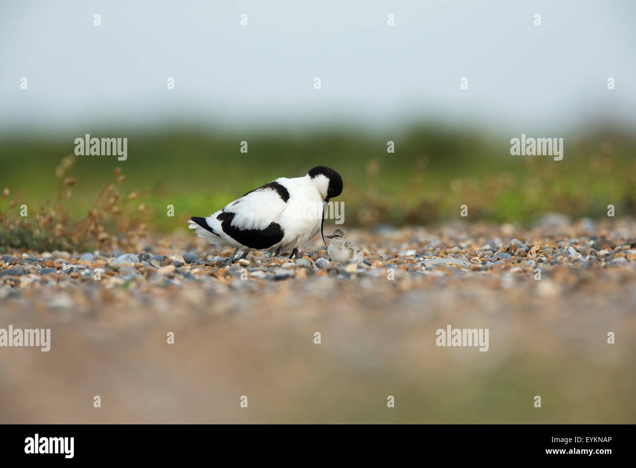 Avocet (Recurvirostra avosetta) protecting its chicks on the beach - Stock Image