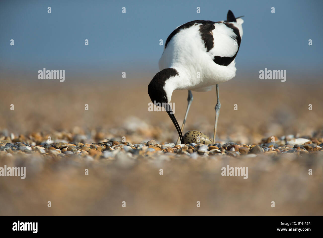 Avocet (Recurvirostra avosetta) incubating its eggs in its nest - Stock Image