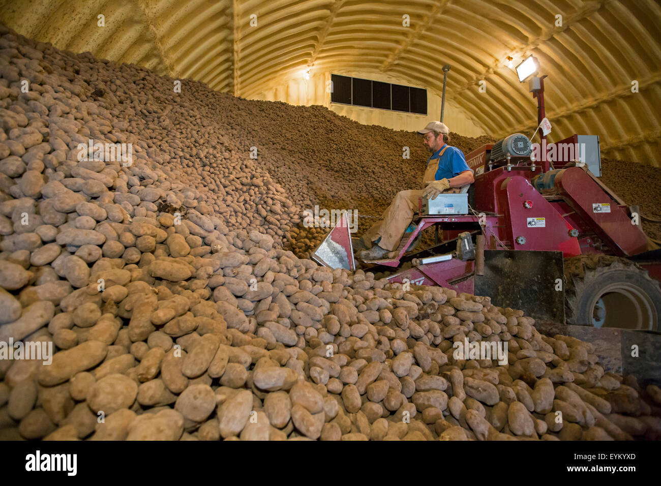 Shelley Idaho - A worker loads potatoes from a farmu0027s potato cellar for delivery to a potato packing plant. & Shelley Idaho - A worker loads potatoes from a farmu0027s potato cellar ...