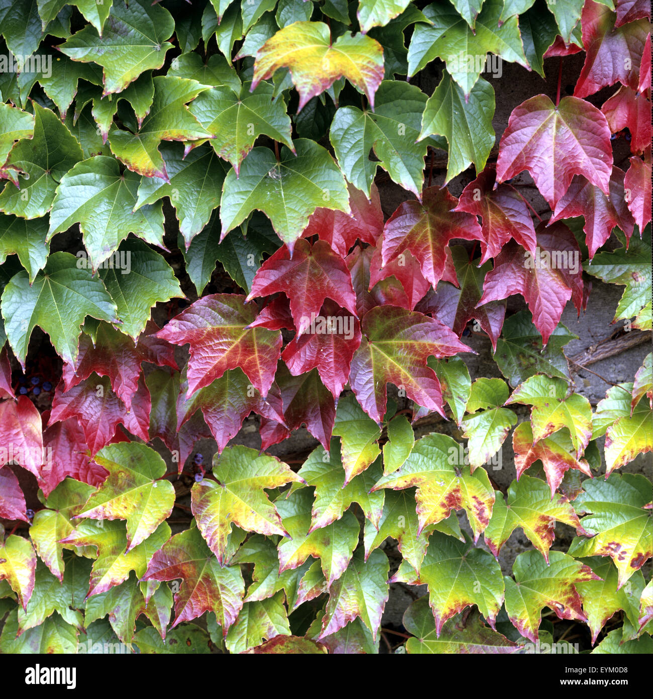 Wilder Wein Parthenocissus Quinquefolia Im Herbst Stock Photo