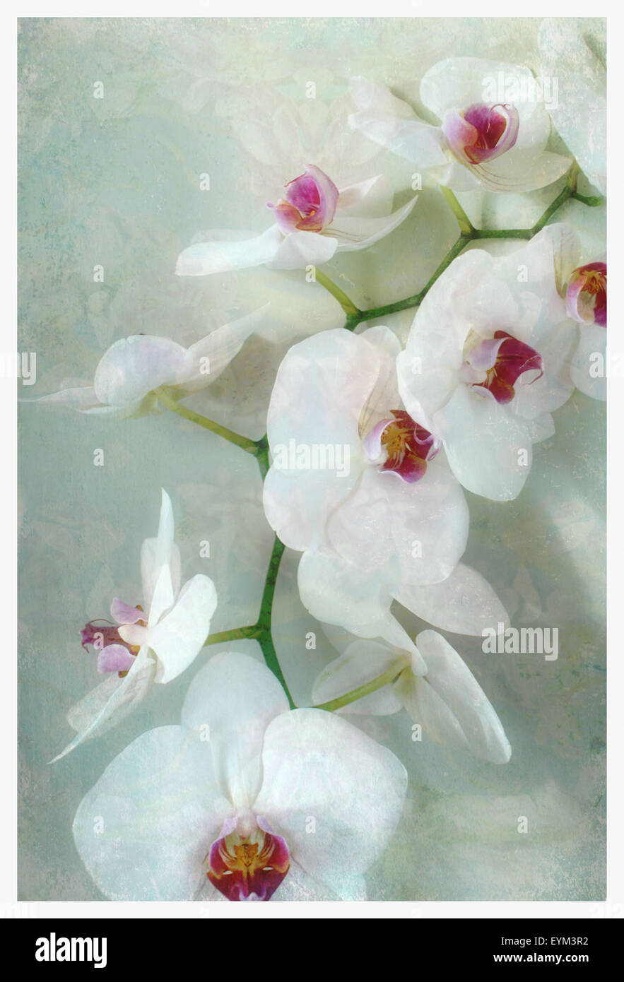 Composing of a white orchid with lucent texture, - Stock Image
