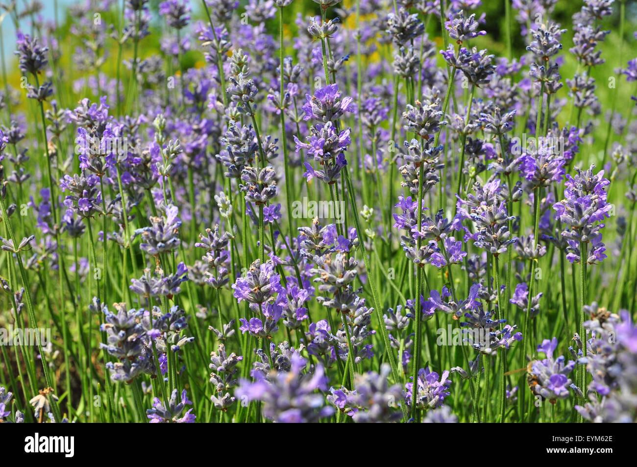 Botanik, Kräutergarten, Lavendel, - Stock Image