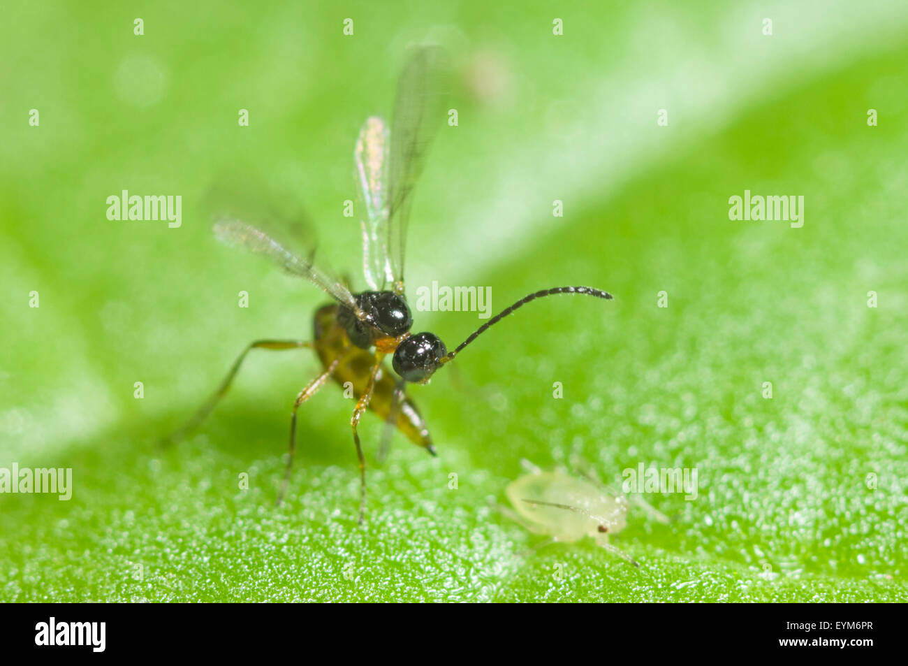 Parasitic wasp about to sting an aphid - Stock Image