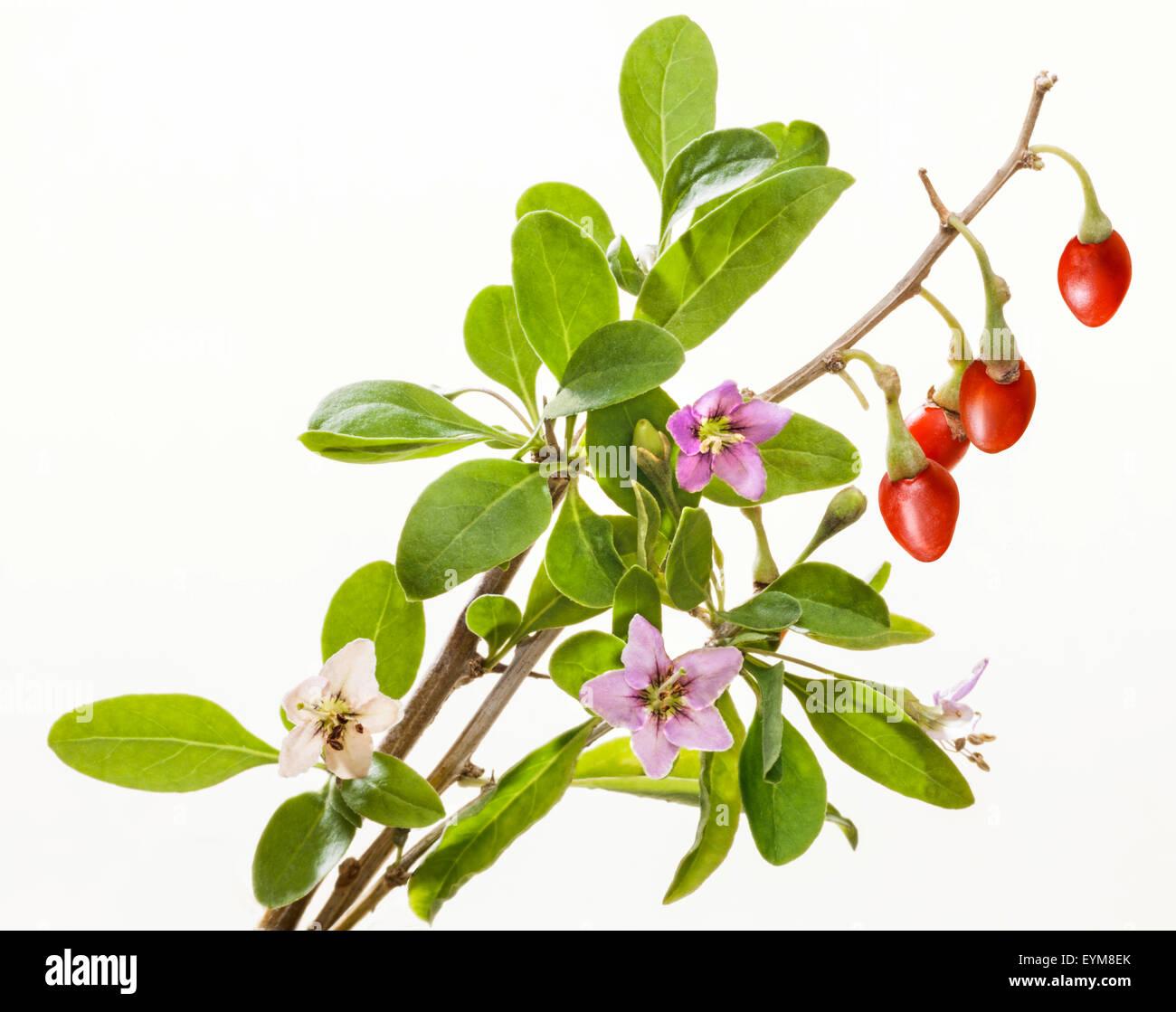 Goji Berries Flowering Twig Leaves Studio Boxdorn Lycium