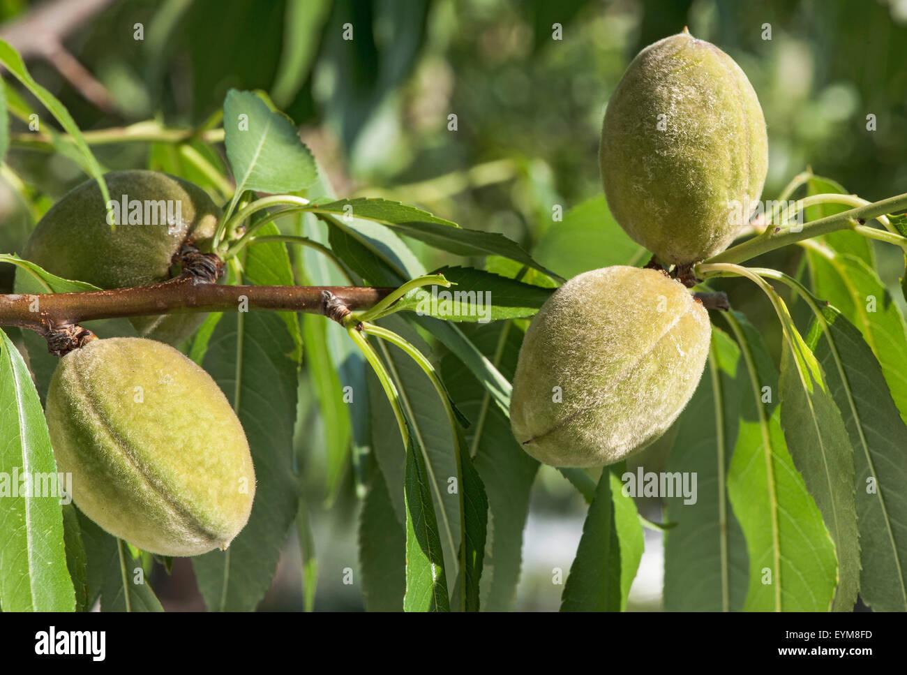 Mandelfrüchte, Blätterzweig, Garten, Prunus dulcis, Rosengewächs - Stock Image