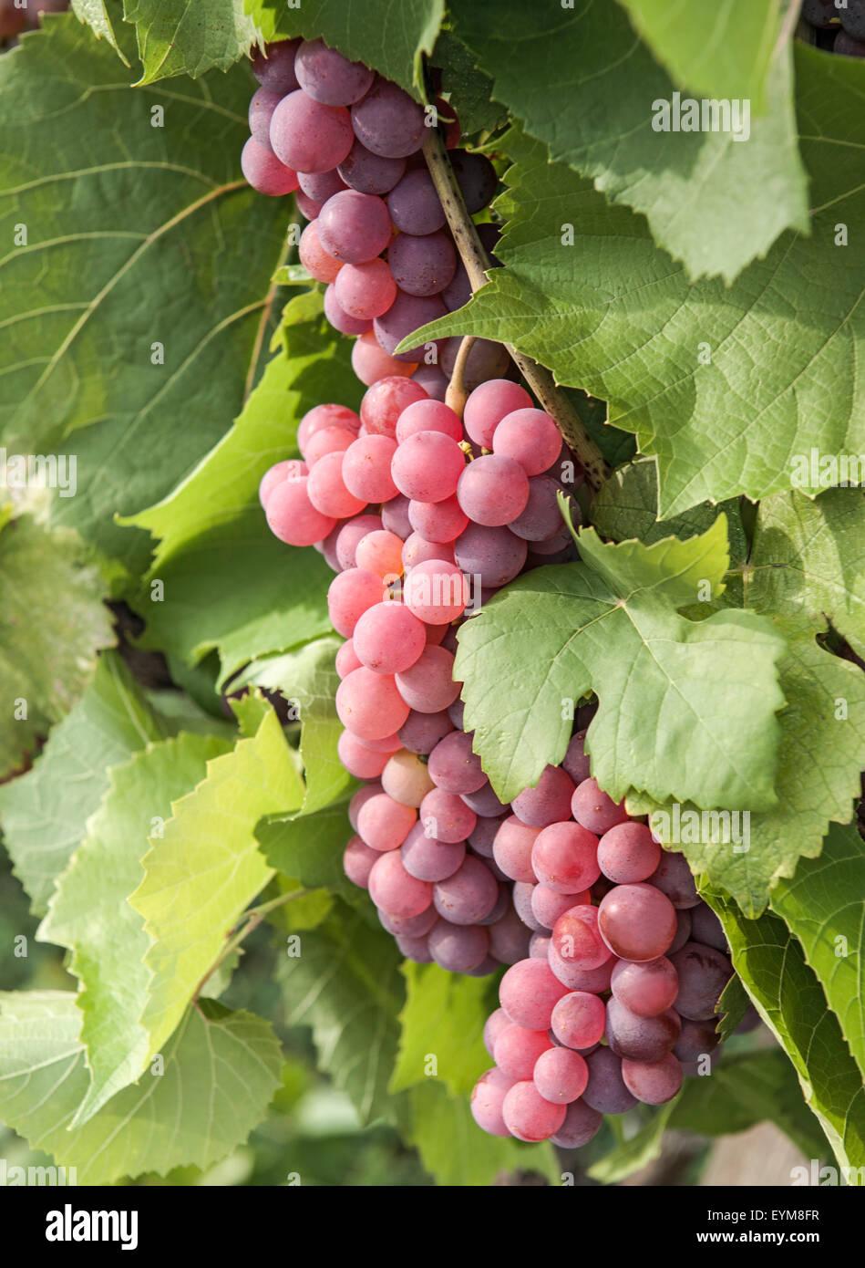 Weintrauben, Gewürztraminer, Weißweinsorte, Blätter, Weingarten, Gumpoldskirchen, Niederösterreich Stock Photo