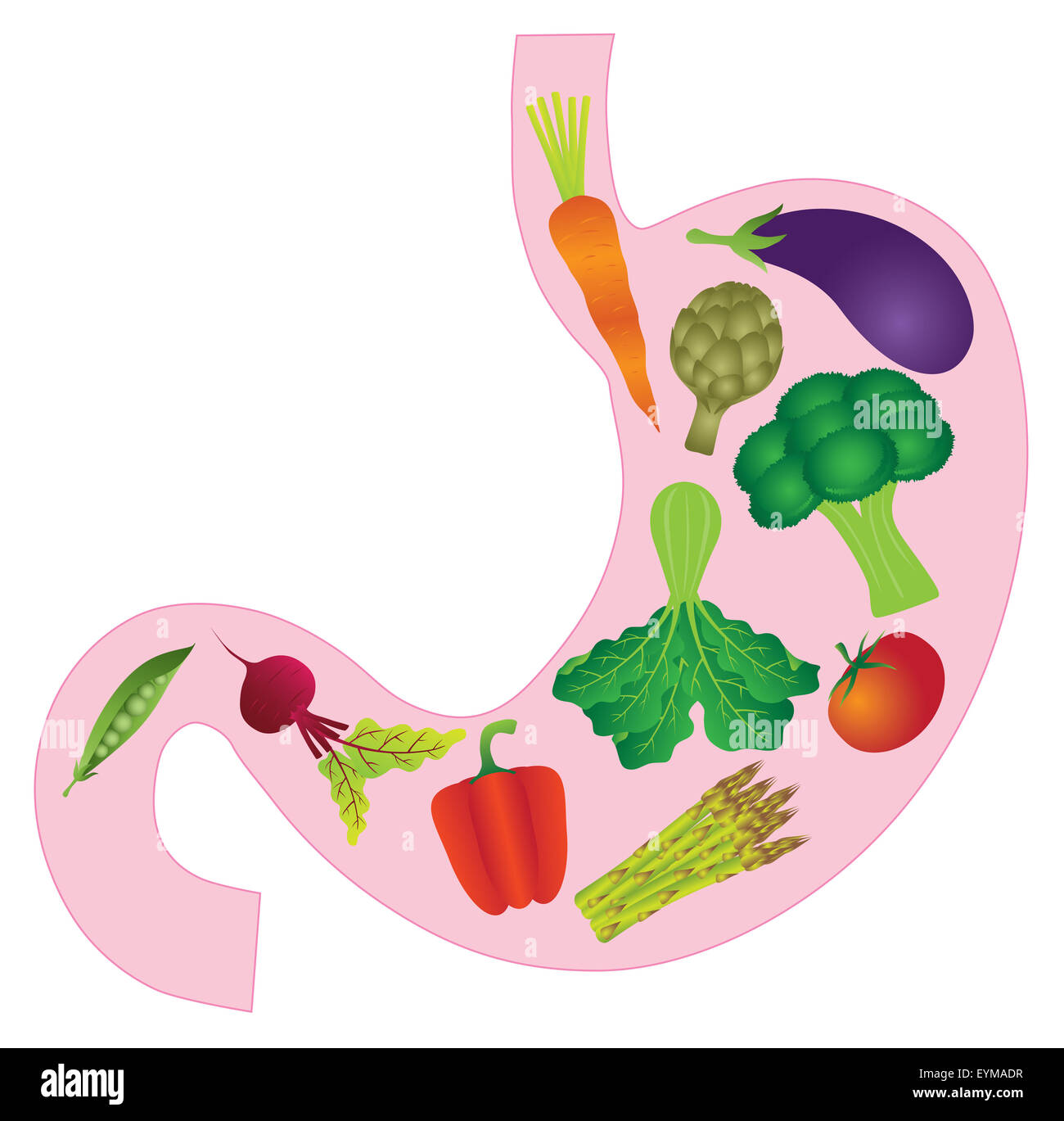 Human Stomach Anatomy with Carrot Eggplant Beet Bell Peppers Stock ...