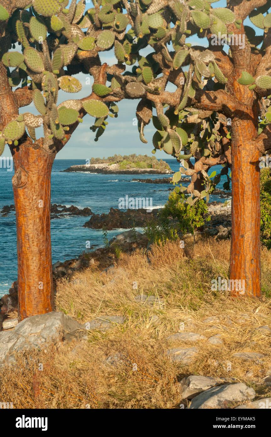 Cactus Trees, Sante Fe Island, Galapagos Islands, Ecuador - Stock Image