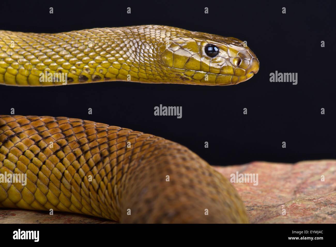 Inland Taipan (Oxyuranus microlepidotus) - Stock Image