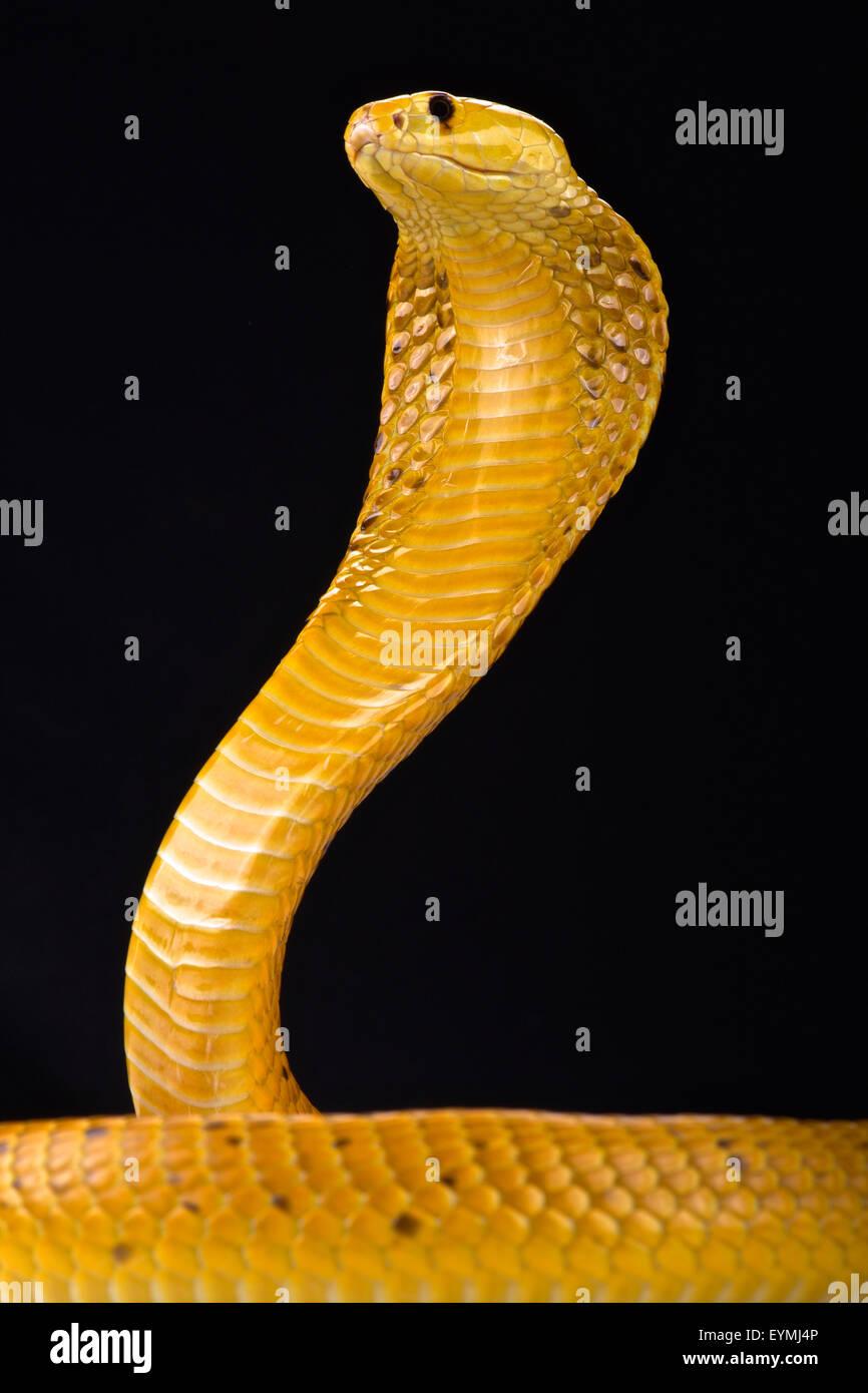 Cape cobra (Naja nivea) - Stock Image