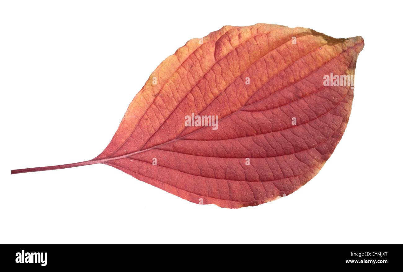 Riesen, Hartriegel, Cornus, Herbstfaerbung, Stock Photo