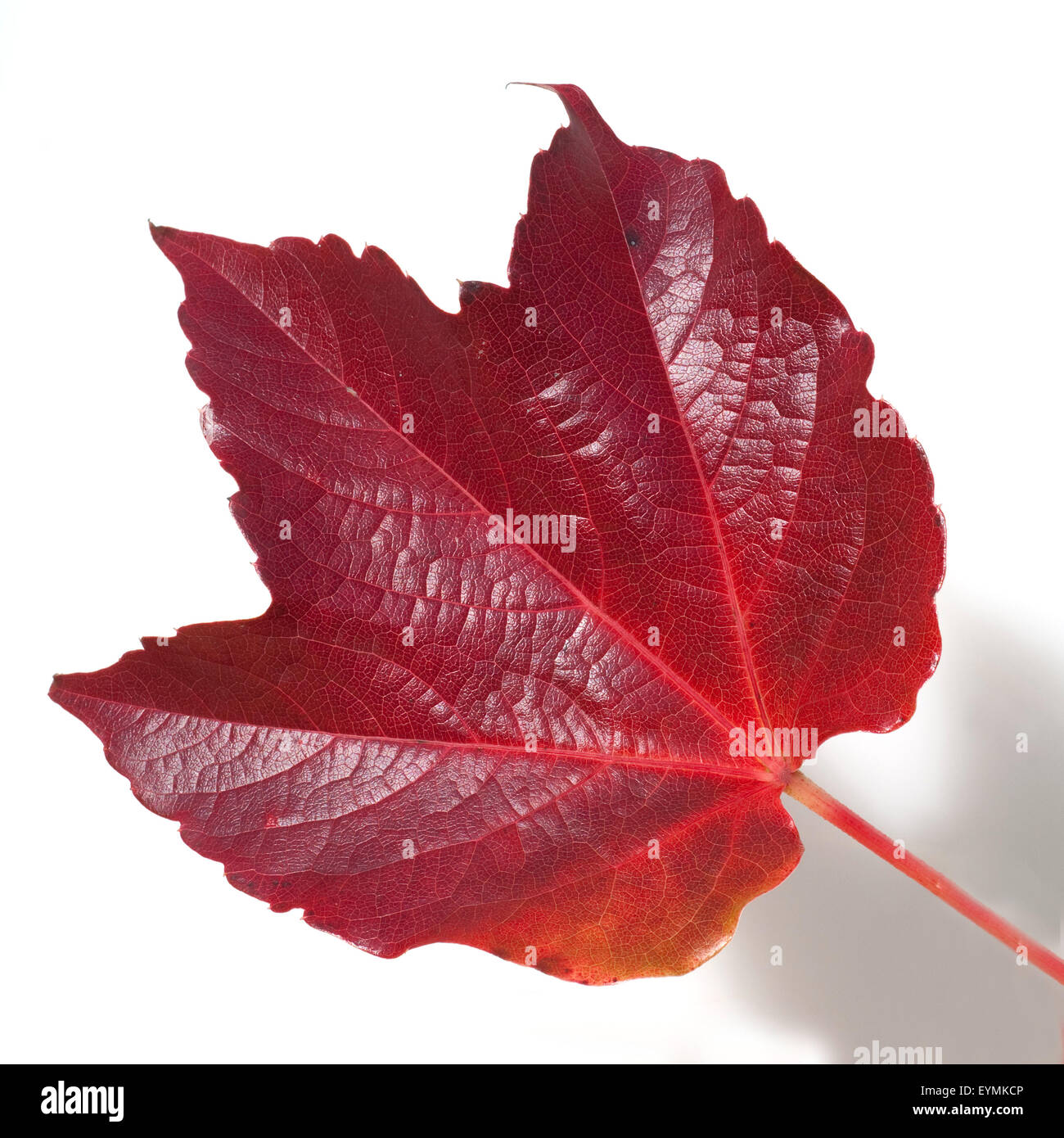 Weinblatt Im Herbst Stock Photo Alamy