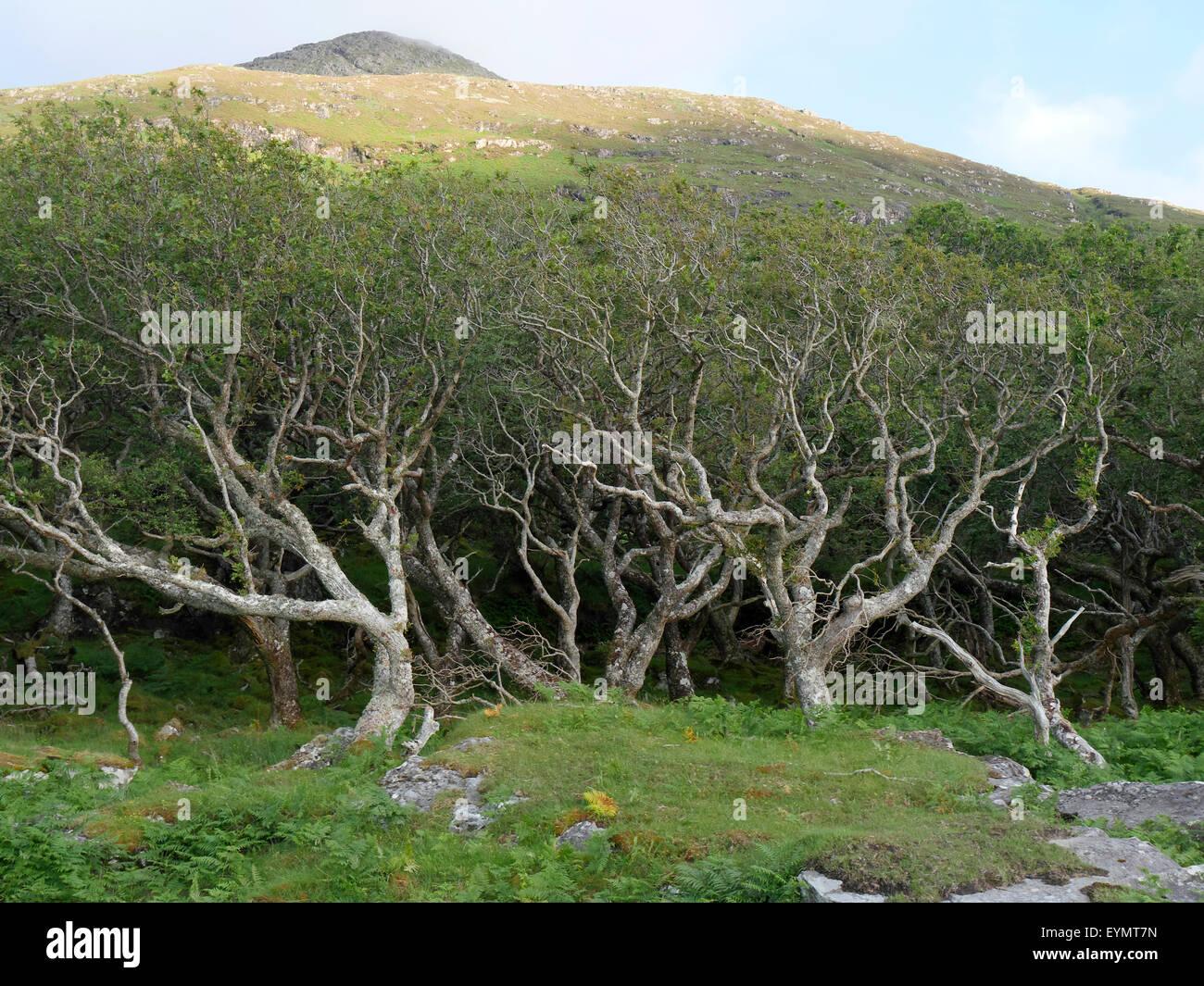 Oak woodland, bent by wind, Isle of Mull, Scotland, July 2014 - Stock Image