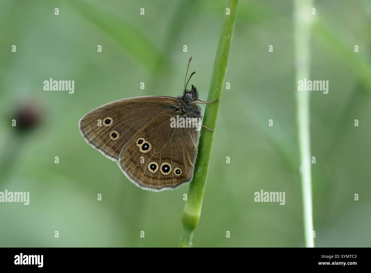 Ringlet Butterfly, Aphantopus hyperantus, single insect on grass, Warwickshire, July 2015 - Stock Image