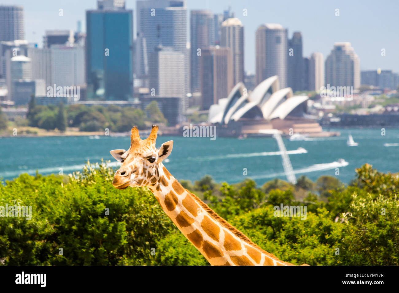 Giraffes at Taronga zoo overlook Sydney harbour and skyline on a clear summer's day in Sydney, Australia - Stock Image