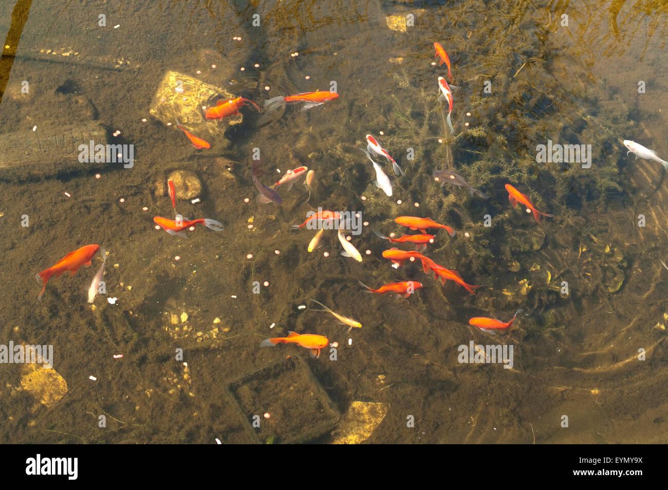 Goldfische, Carassius auratus, Stock Photo