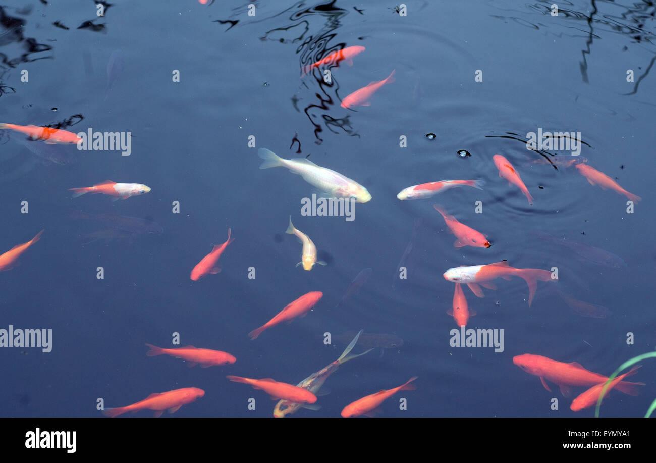 Goldfisch, Carassius auratus, Stock Photo