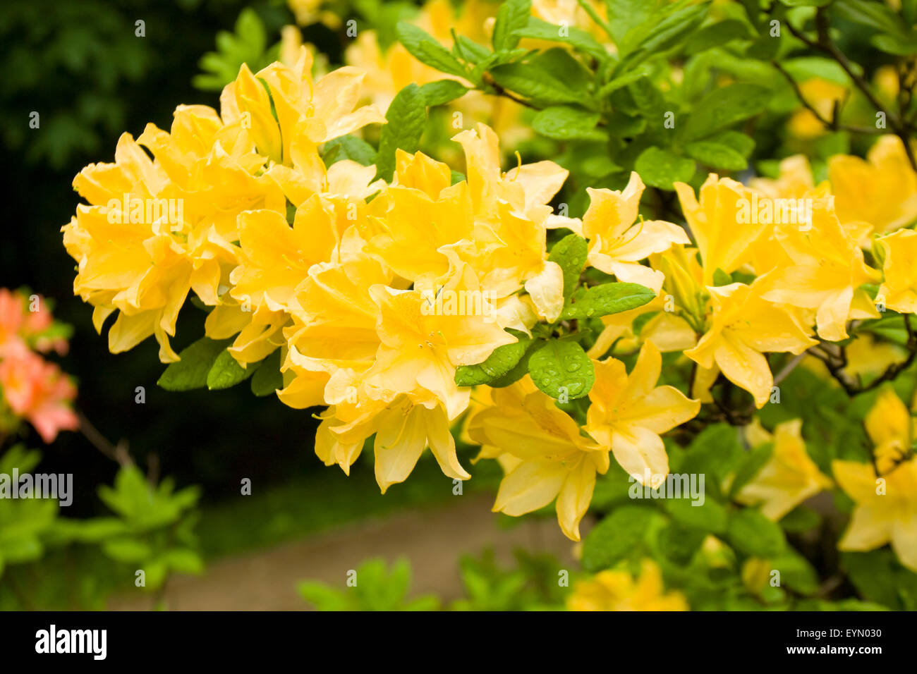 Branch Of Tropical Rhododendron Plant With Yellow Flowers Stock