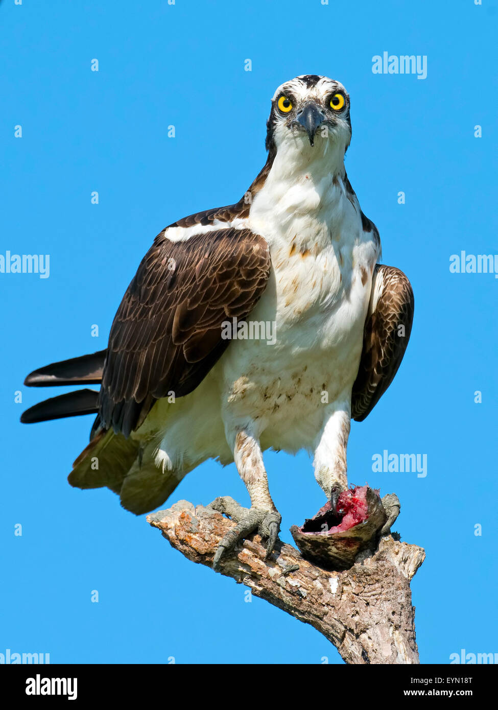 Osprey with headless fish. - Stock Image