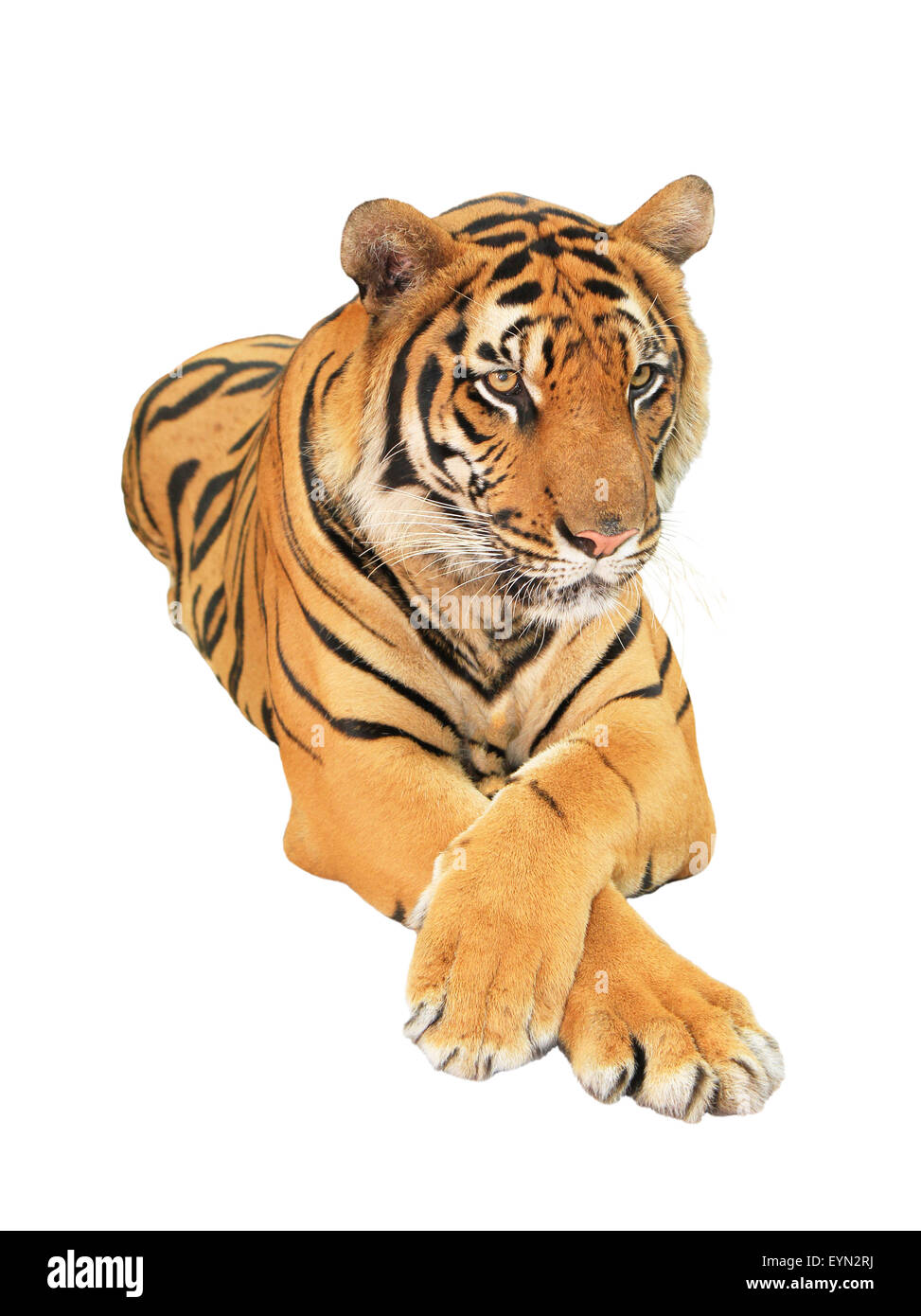 Tiger isolated on white background - Stock Image