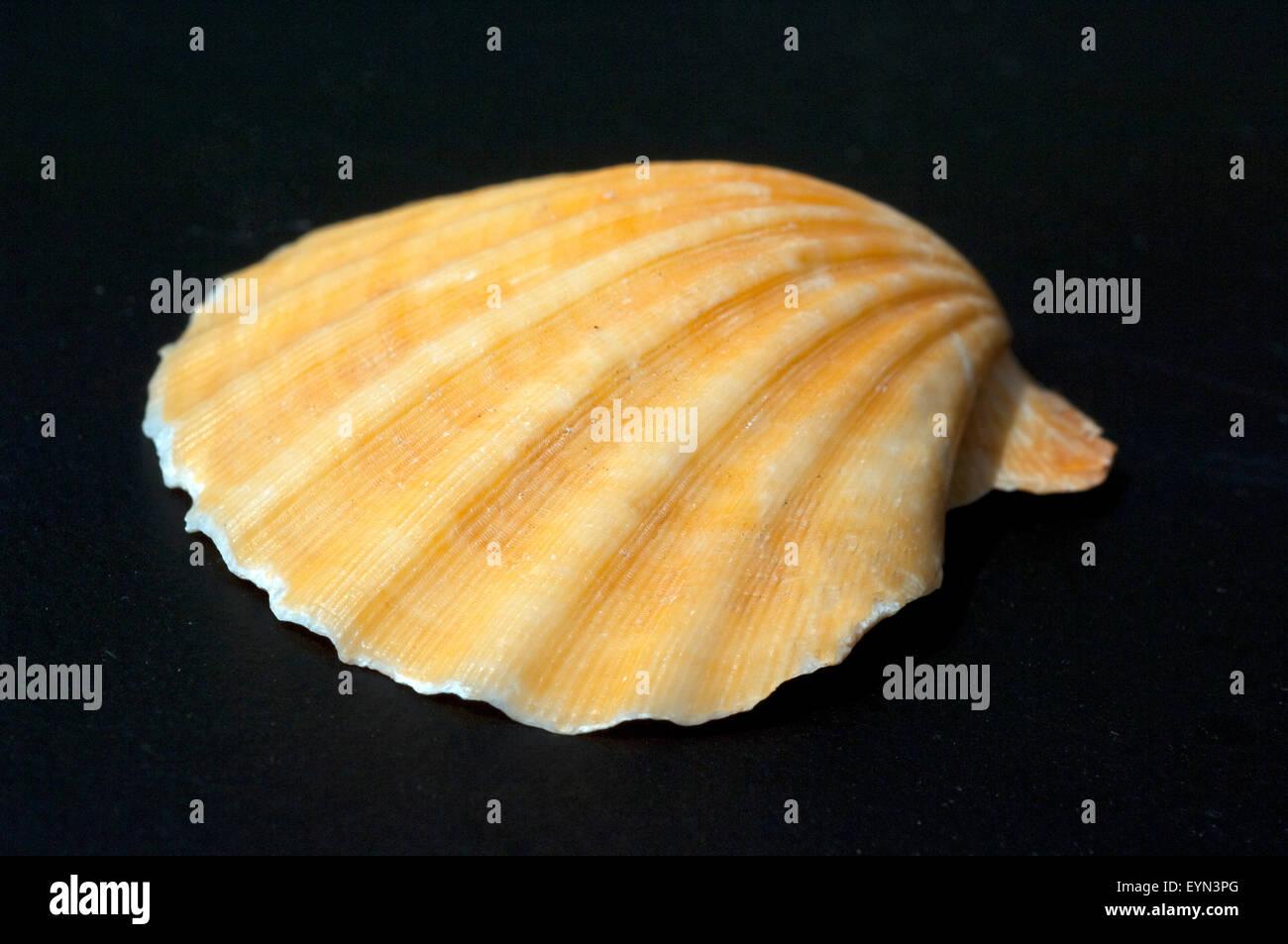 Meeresmuschel - Stock Image