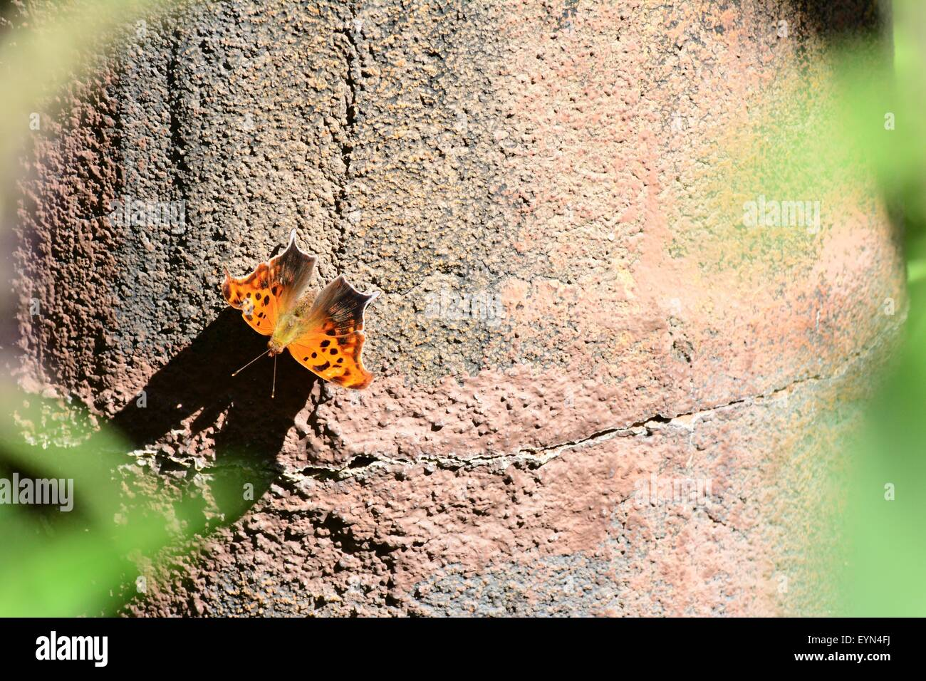 Question Mark Butterfly on exhibit - New Mexico - USA - Stock Image