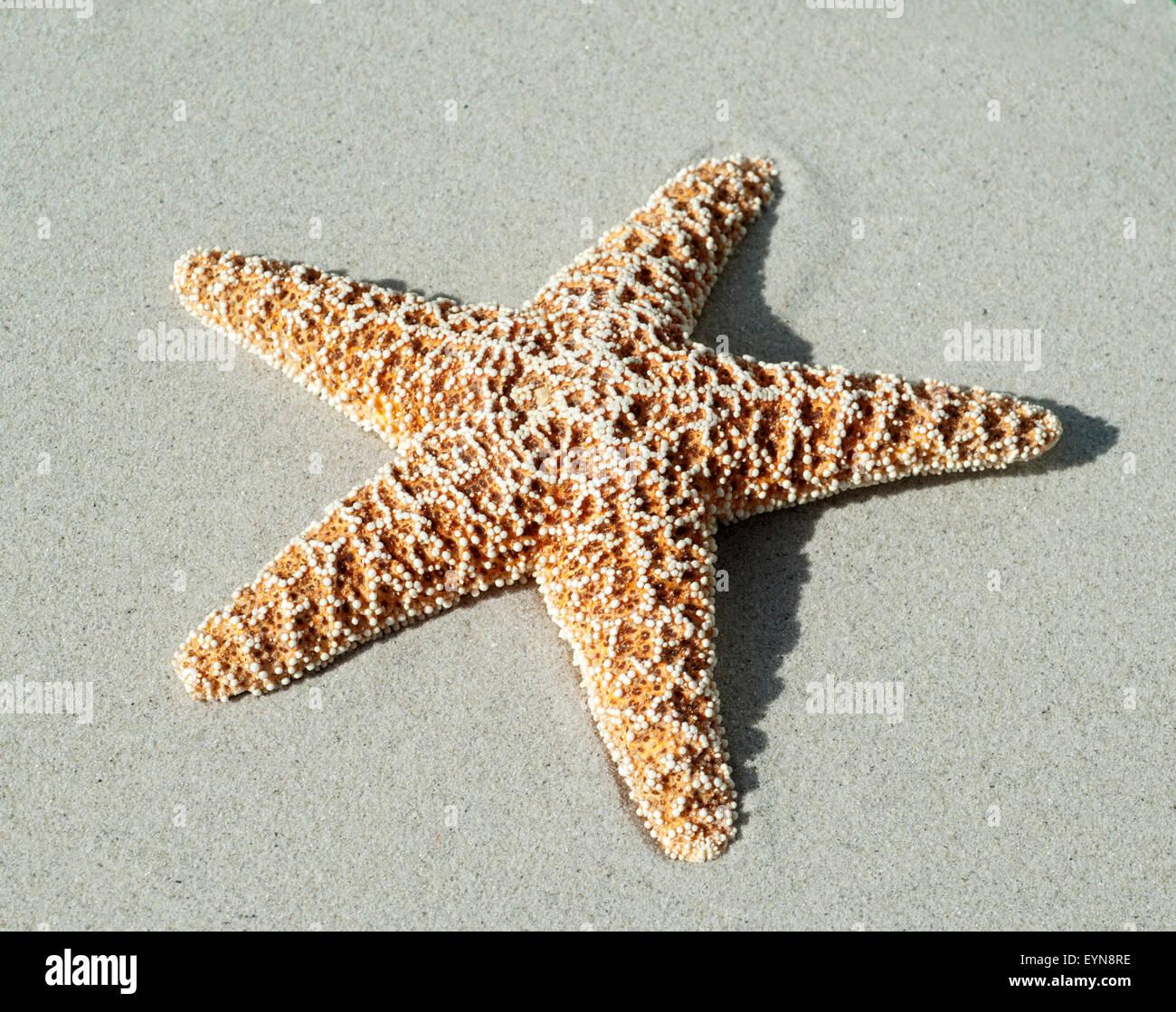 Seestern, Asteroidea, - Stock Image