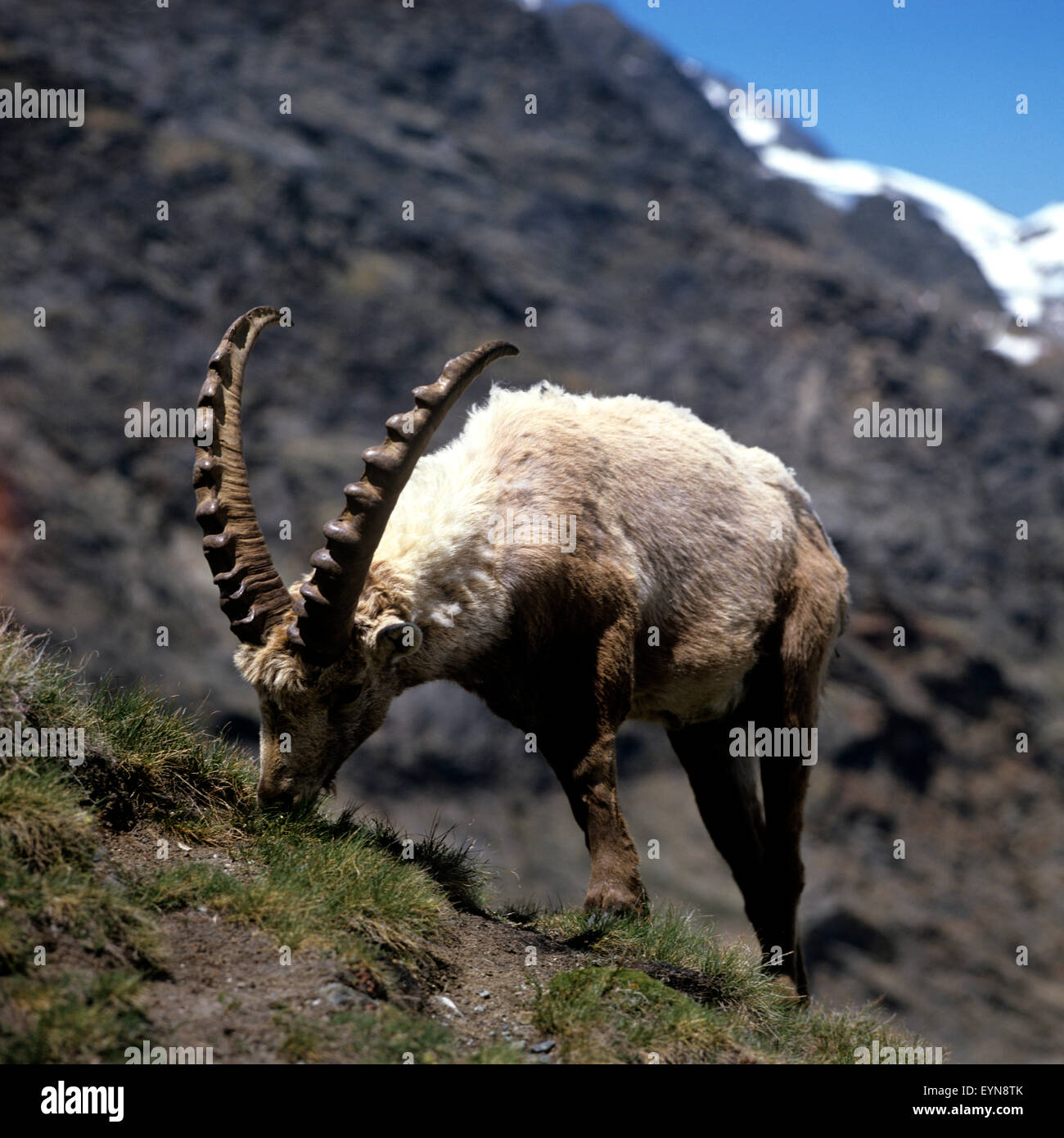Steinbock; Capra, ibex, - Stock Image