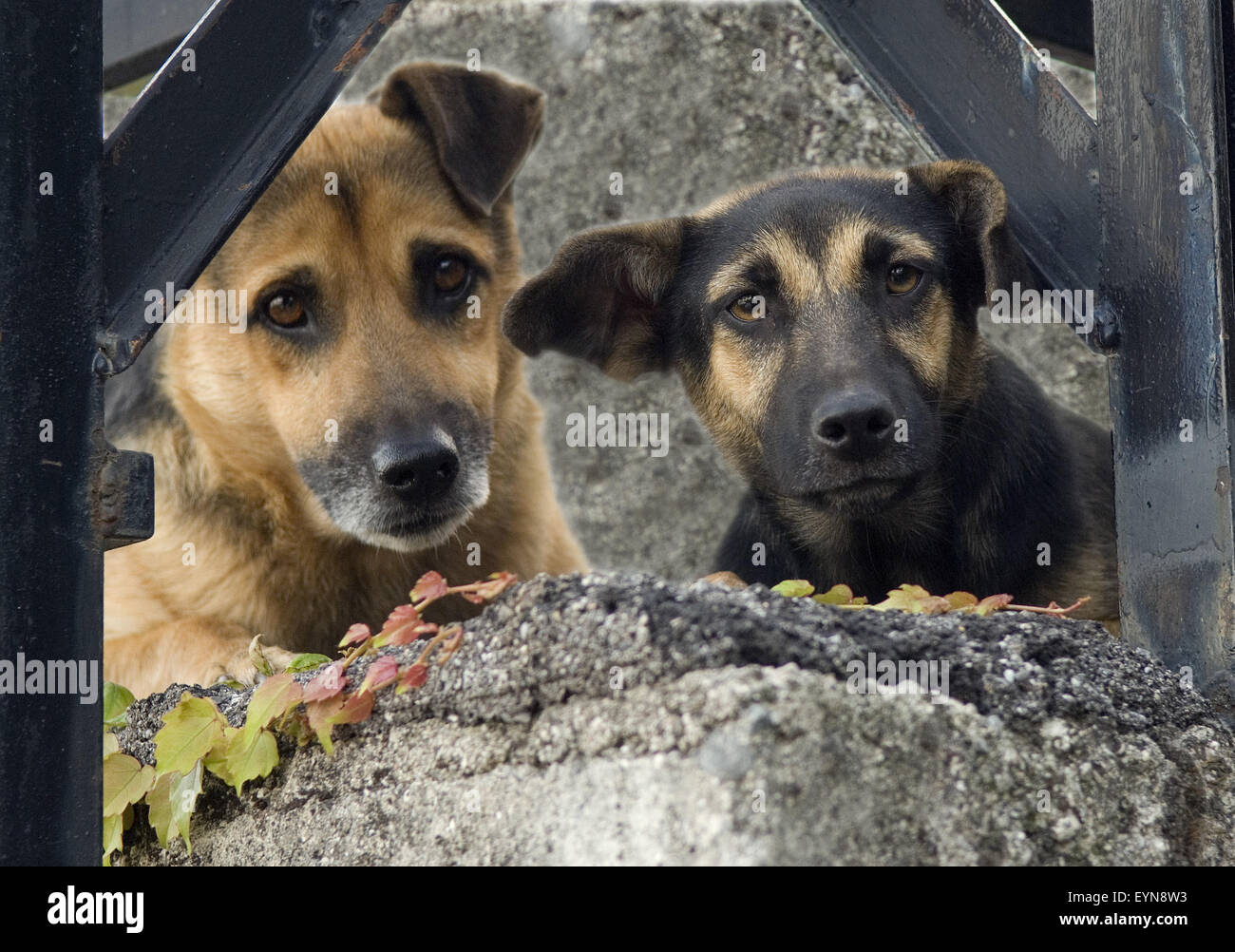 Strassenhund, Betteln; Hund - Stock Image